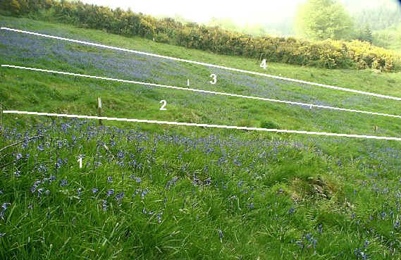 Bluebells flowering in sections 1 - 4