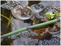 Breeding amphibians at the Centre's wetland area